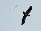 Zwergseeschwalbe / Little Tern