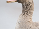Blssgans / Greater White-fronted Goose