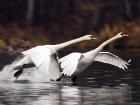 Höckerschwan / Mute Swan