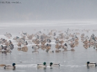 Stockenten am Eis / Mallards on ice