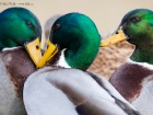 Stockenten / Mallards