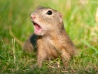 Ziesel / European Ground Squirrel