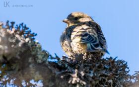 Zitronenzeisig / Citril Finch