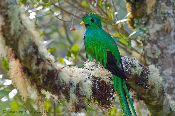Quetzal, Los Lagos 2010