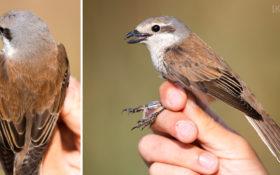 Red-backed Shrike / Neuntöter