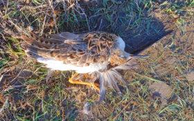 Ruff / Kampfläufer killed by Carrion crow