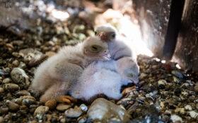 Turmfalke / Common Kestrel ground-nesting