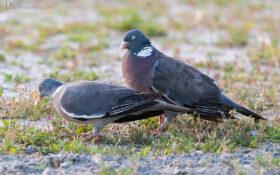 Woodpigeon / Ringeltaube